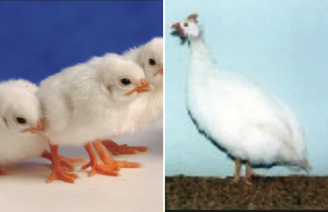 White African Guinea