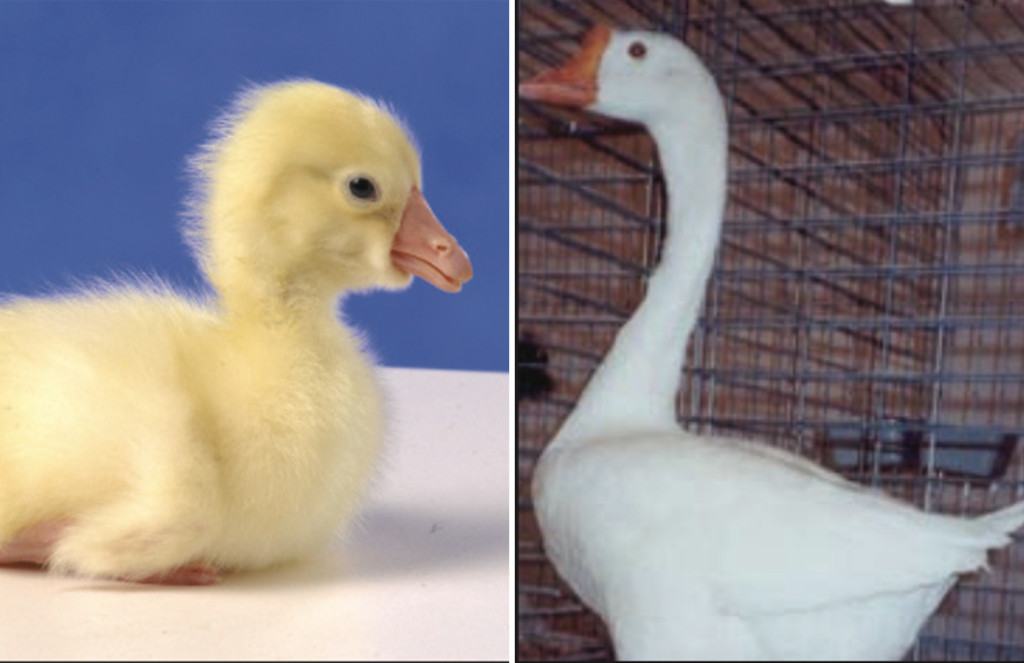 White Chinese Geese