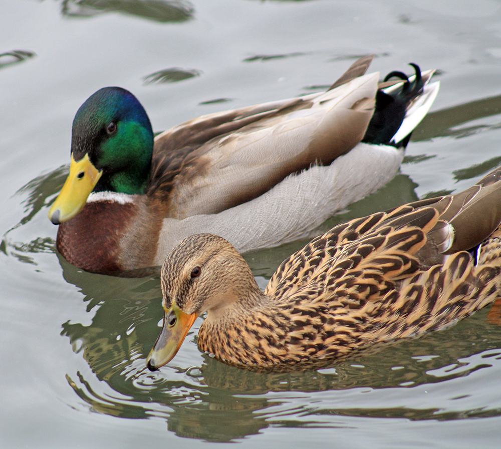 Backyard Ducks and Geese Guide